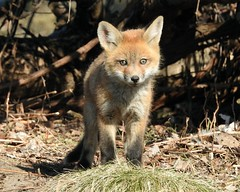 Red Fox Kit (Sara Turner Photography) Tags: baby cute nature animal mammal furry outdoor wildlife tail whiskers fox kit redfox