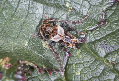 Lesser Thorn-tipped Longhorn Beetle - Pogonocherus hispidus (Prank F) Tags: macro nature closeup insect wildlife sandy beetle longhorn lesser cerambycidae thelodge rspb bedfordshireuk pogonocherushispidus thorntipped