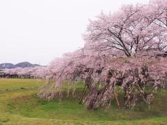 IMGP0151_1 (tetsu_m_320i) Tags: japan sakura fullbloom