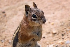 Golden-mantled Ground Squirrel (s_uddin59) Tags: squirrel colorado rockymountainnationalpark groundsquirrel goldenmantledgroundsquirrel