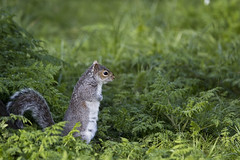 Venturing out (kirsten.cooper) Tags: york gardens museum spring squirrel tamron 70200 f28
