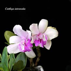 Cat. intermedia alba x Cat. intermedia supre (emmily1955) Tags: orchids cattleya