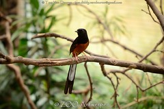 shamalijster - Copsychus malabaricus - White-rumped Shama (MrTDiddy) Tags: white bird zoo antwerp shama whiterumped antwerpen vogel zooantwerpen lijster copsychus malabaricus ruped shamalijster