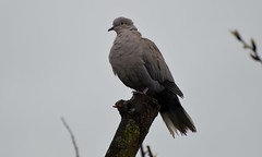 DSC_0297 Collared Dove In the Rain and Taken through front room window (47) (John Carson Essex) Tags: thegalaxy supersix rainbowofnature thegalaxystars