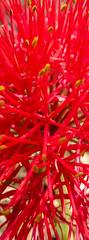 Scadoxus multiflorus - Okavango, Namibia (Nov. 2015) (anschieber   niadahoam.de) Tags: 2015 201511 20151115 afrikaafrica caprivi haemanthusmultiflorus katherinewheel namibia namibia2015 okavangodelta scadoxusmultiflorus bloodlily bloodflower oxtonguelily powderpufflily redorangeflowers roteorangeblüten okavangobloodlily okavangoflora