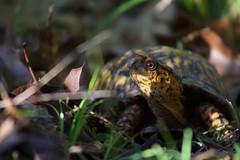 Box turtle 2016 (beau.rapier) Tags: spring turtle reptile boxturtle morels carapace ornateboxturtle