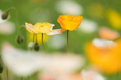 spring dream (hitohira_) Tags: flowers flower nature bokeh poppy