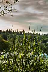 Riverfront weeds (docoverachiever) Tags: urban plant green nature grass clouds oregon portland landscape evening weeds scenery backlit willametteriver sellwood