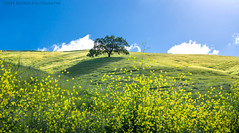 On Mt. Diablo **EXPLORED** (Janet Kopper Photography) Tags: california park trees landscape spring oak state outdoor mount wildflowers diablo mtdiablo