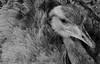 Feather Explosion...(Explored April 20, 2016) (RALPHKE) Tags: bird netherlands birds animal animals canon blackwhite flickr explosion feathers feather rheaamericana nandu 2016 greaterrhea mondoverde nandoe explored featherexplosion canoneos750d worldgardensmondoverde