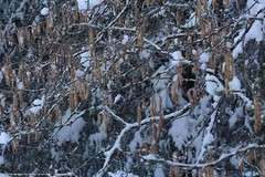 (planetphoto.fr.ht) Tags: winter white snow green ice nature monochrome plante switzerland pin suisse natural hiver natur natura vert bosque neige extrieur arbre blanc gel froid neuchtel fort sapin glace neiges bosques snows aventure hauteur pananorama greatnature epine conifre arbes switzera chauxdefond
