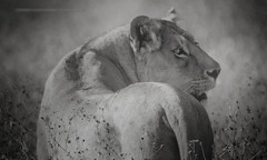 sneak peek over the shoulder (Jose Antonio Pascoalinho) Tags: africa blackandwhite nature monochrome animal fauna tanzania feline outdoor wildlife nat bio safari ngorongoro bigcat crater wilderness capture predator behavior lioness biodiversity bigfive safariphotography zedith