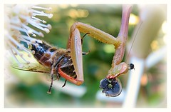 Goodbye Mum (Mary Faith.) Tags: food macro nature mantis insect praying prey predator