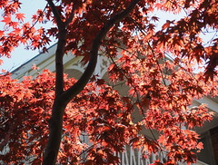 Through the red (pilechko) Tags: light red tree leaves japanese maple nj lambertville