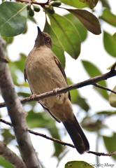 Bulbul ojirrojo / Asian Red-eyed Bulbul (Pycnonotus brunneus) (avgomo) Tags: birds fauna aves malaysia langkawi bulbul malasia