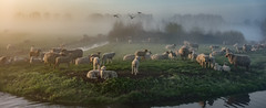 Counting sheep (Jorden Esser) Tags: panorama mist water grass misty fog dawn sheep flock foggy ducks pasture serene polder herd middendelfland nederlandvandaag