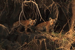 Royal cubs (swarnabece) Tags: tiger cubs royalbengaltiger borwildlife