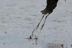 Glossy ibis - last shot of the day (Steve Balcombe) Tags: uk bird feet inflight somerset plegadis falcinellus glossy ibis levels rspb hamwall avalonmarshes