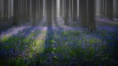 BLB-1 (artursomerset) Tags: morning trees light sun bluebells hampshire micheldeverwood