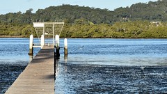 Wharf at the Waterfront (Merrillie) Tags: sea nature water birds animals fauna bay nikon wildlife australia wharf egret greategret brisbanewater woywoy d5500 nswcentralcoastnsw centralcoastnsw easterngreategret