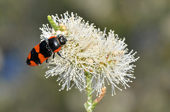 Jewel beetle (jeans_Photos) Tags: westernaustralia cunderdin jewelbeetle hopkinsroad bupestrid cunderdinfred