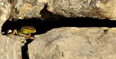 Cucu (Guido Giachetti) Tags: detail muro verde green quiet afternoon dragon little details calm holes lizard dettagli piccolo sassi calma drago secco lucertola dettaglio sesto pomeriggio rettile quiete fiorentino fessure pallido assorto meriggiare dorto
