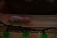 DSC03292.jpg (joe.spandrusyszyn) Tags: nature animal mammal rodent pennsylvania unitedstatesofamerica erie rodentia vertebrate eriezoo nakedmolerat heterocephalusglaber heterocephalus bathyergidae blesmol byjoespandrusyszyn
