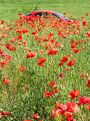 Puma and poppies (Romeodesign) Tags: flowers red green nature field car hide poppies puma fordpuma