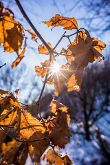 Loxia does Close Up (0verexposed) Tags: loxia carlzeiss 2821loxia zeiss sony a7rii china winter sun ray leafs