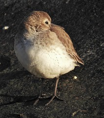 Dunlin (Calidris alpina) (Nature In a Snap) Tags: bird beach nature water point wildlife jetty calidris alpina birding nj inlet birdwatching dunlin shorebird 2016 ppb