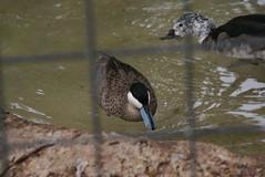 Houston Zoo - Puna Teal (SpeedyJR) Tags: birds zoo texas houstontexas teals houstonzoo houstontx punateal speedyjr 2015janicerodriguez
