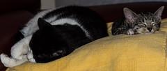 Lennie and Bella Snoozin'.... (shotokan101) Tags: sleeping cats cute love cool cross savannah bella bengal moggie lenniw