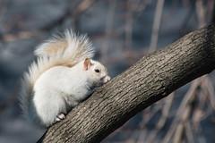 Leucistic Squirrel [30/366] (timsackton) Tags: animal animals mammal rodent unitedstates massachusetts somerville mammals rodents animalia mammalia rodentia graysquirrel sciuruscarolinensis chordate chordates chordata metazoa 365photoproject