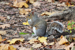 Sneaky Squirrel (Mithaq Kazimi) Tags: park wild newyork cute green fall nature animal animals closeup fur newjersey furry squirrel squirrels seasons natural wilderness cuteness leafs furball wildanimals