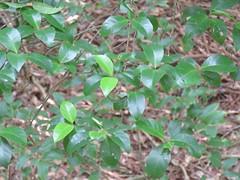 Hodgkinsonia ovatiflora 9 (barryaceae) Tags: sea acres national park port macquarie australianrainforestplant australian rainforest plants species new south wales australia ausrfps the coastal walk rubiaceae