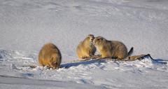 Black-tailed Prairie Dogs in winter - Badlands, SD (petechar) Tags: winter southdakota wildlife january mammalia badlandsnationalpark rodentia sciuridae blacktailedprairiedog nikonv1 charlesrpeterson petechar nikon170300 cynamoysludovicianus