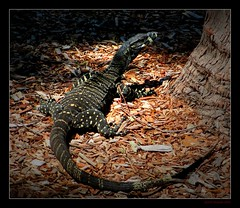 Goanna I (Seeing Things My Way...) Tags: reptile wildlife sydney australia monitor lizard nsw goanna australianwildlife australianreptiles australianlizards australianmonitors