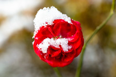 pout in snow (lumofisk) Tags: schnee winter red snow plant tree rot rose 50mm blossom outdoor pflanze january pout blte beech januar schmollmund 0mmf0 nikondf