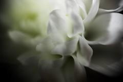 Chrysanthemum (Missy Jussy) Tags: flowers light plants flower macro gardens canon petals shadows dof blossom wildlife depthoffield chrysanthemum cannon600d