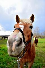 Valentine (Lady Happiness) Tags: horse st cheval valentines valentin halfinger