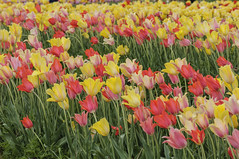 Spring blooms (Filsa Bint Ahmed) Tags: flowers storm field rain yellow clouds colorful day lily cloudy outdoor cut farm large deep windy colorsofspring blushing 105mmf28 d90 salmonrose rosyred blushingbeautytulips burnsidefarms spring2015 aureolinyellow templeofbeautytulips