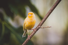 Canary (connorcinhull) Tags: life bird nature field animal yellow photography photo nikon branch dof bokeh background wildlife connor photograph twig canary campbell amateur depth d600