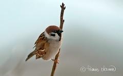 Pikkuvarpunen (Paavo Laine) Tags: tree birds sparrow passermontanus fåglar lintu varpuset pikkulintu pilfink pikkuvarpunen varpuslinnut