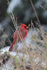 Northern Cardinal 2.9.16 5999 (mkalbis) Tags: cardinal northerncardinal yardbirds feederbirds westharwich