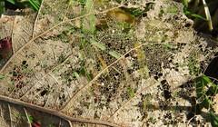 From winter to spring (Elisa1880) Tags: netherlands leiden leaf decay nederland blad gaas verval gaatjes cronesteyn polderpark