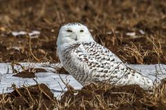 Snowy Owl (Rick Petersohn) Tags: winter white snow bird nature birds animal animals wisconsin wings wing beak raptor owl predator tundra raptors owls talons snowyowl
