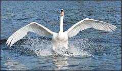 Landing (delluisa123) Tags: nature swan wings nikon splash broad whitlingham 55300mm d3300