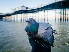 Pigeon rescued from the sea (lomokev) Tags: bird nature pier focus brighton dof pigeon olympus depthoffield omd brightonpier palacepier em5 olympusomd olympusomdem5 file:name=160211omdem52110096