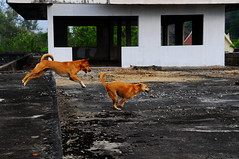 ,, Rocket Man & Mama (Jon in Thailand) Tags: roof dog dogs mom jumping nikon action rocketman rocky son running mama jungle nikkor chasing k9 d300 flatroof 175528 littledoglaughedstories thedogpalace