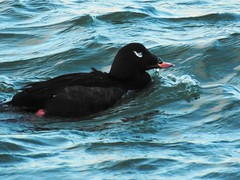 Adult Male White-winged Scoter (Melanitta fusca) (Nature In a Snap) Tags: bird point jetty birding nj inlet birdwatching fusca whitewinged 2016 manasquan scoter melanitta ppb seaduck
